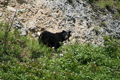 Black Bear in BC