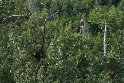 Bald Eagle in AK