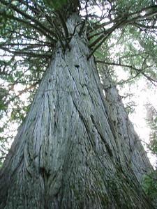 Old growth Western Cedar