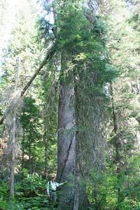 Sitka Spruce in BC