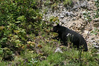 Black Bear leaving