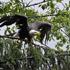 Bald Eagle getting ready to take flight