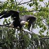 Bald Eagle getting ready to take flight