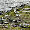 Herring Gulls resting by the edge of the bay as the black bears fish upstream for the salmon.