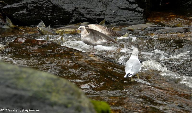 Plenty of salmon swimming upstream as the Herring Gulls (one adult and one juvenile)  look on.