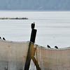 Three Bald Eagles, each perched on the post, awaiting the salmon scraps from the bears