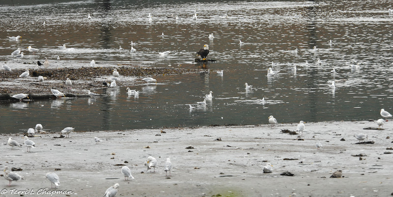 Bald Eagle surrounded by gulls as they all awaiting the salmon scraps from the bears