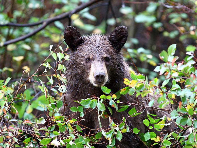 "Black Bear ""cinnamon in color""<br /> Teton Nat'l Park,Wyoming"