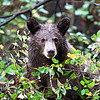 "Black Bear ""cinnamon in color""<br /> Teton Nat'l Park,Wyoming"