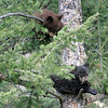 A couple of Bear Cubs up in a tree.<br /> Tower Area<br /> Yellowstone Nat'l Park,Wyoming