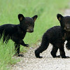 These two little vulnerable and wet cubs darted across a forest service road and into the woods.  I was beginning  to think they were orphans, but after a few minutes, Mama followed behind them.