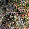 "Black Bear ""cinnamon in color""..<br /> Teton Nat'l Park,Wyoming"