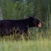 Bear photographed in the Wekiva River Basin - September 2012.