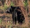 Observed this bear on the Florida Trail - may have injured left front leg at one time due to unusual gait.  He seems happy and well-adusted.