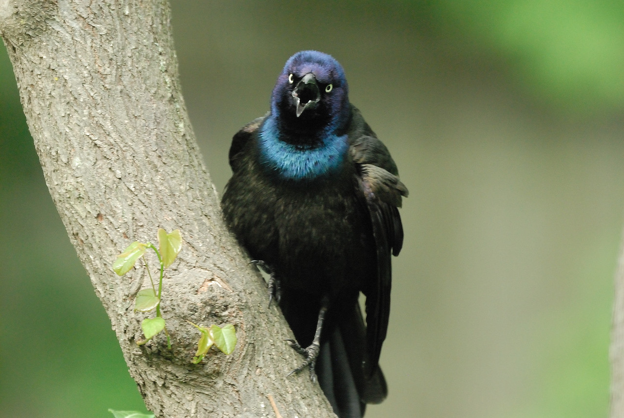 Common Grackle (2)