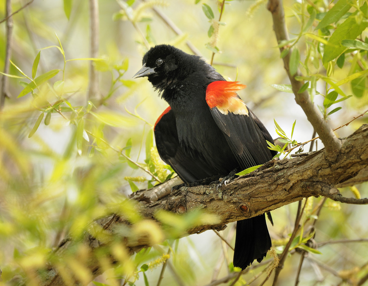 Red-winged blackbird (6)