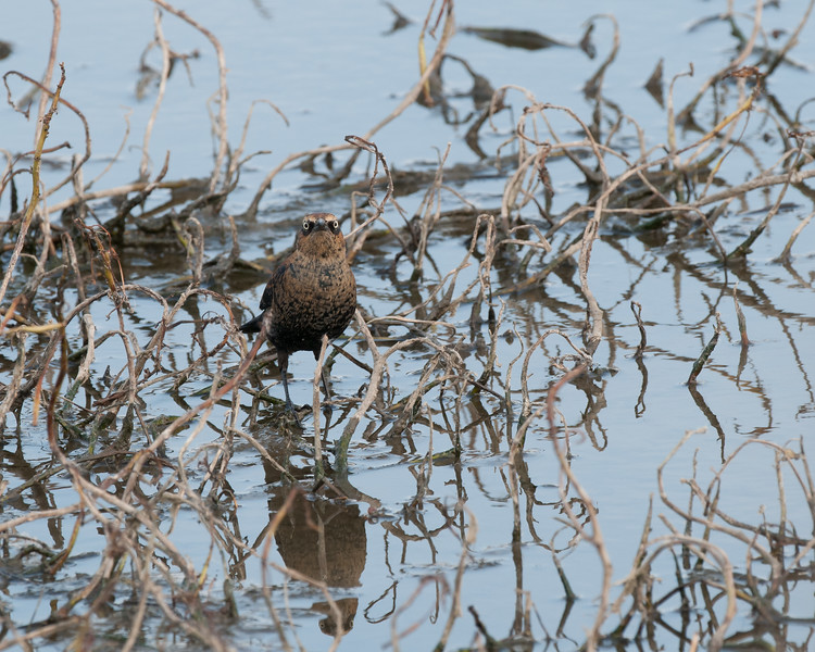 Rusty Blackbird-3