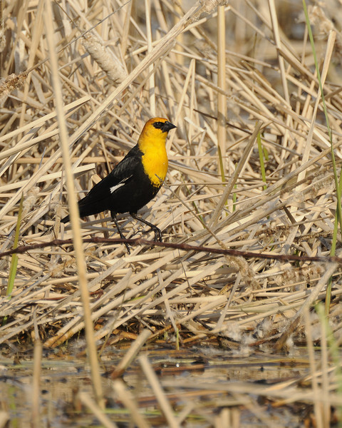 Yellow-headed Blackbird (2)