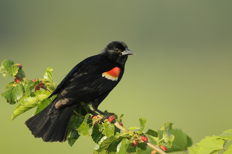 Red-winged blackbird (8) - Eagle Bluffs Evening