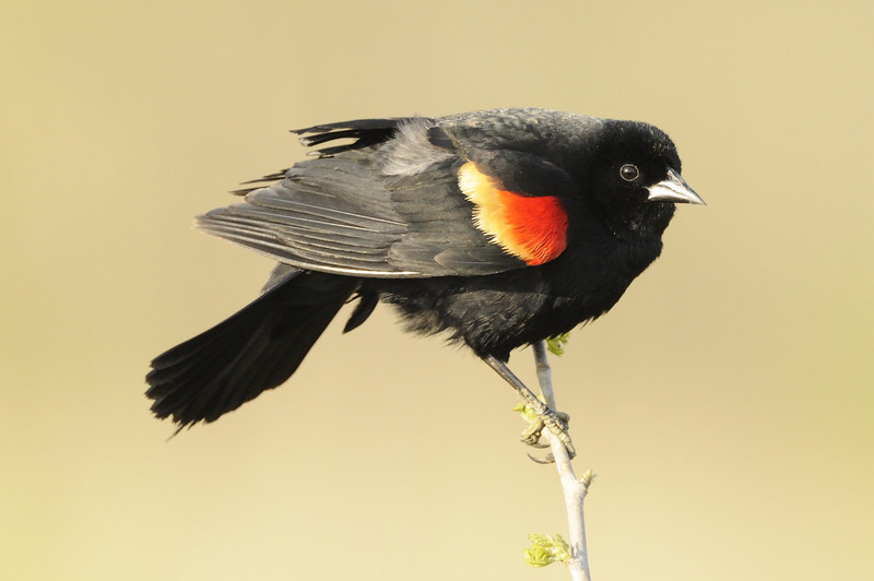 Red-winged blackbird (5)