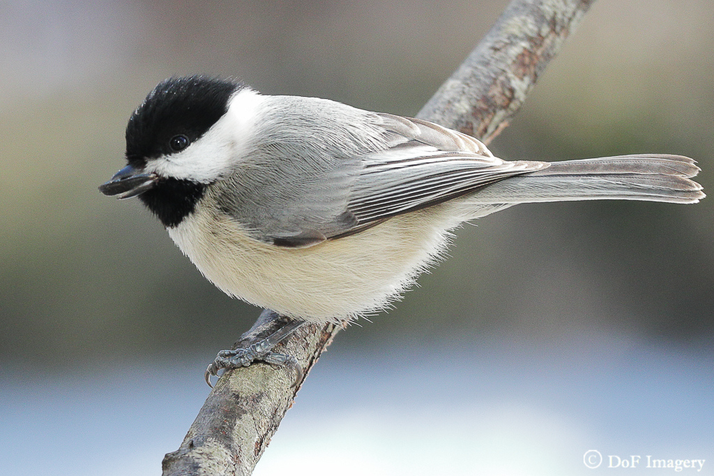 IMAGE: https://photos.smugmug.com/Nature/Black-Capped-Chickadee/i-fhXwH62/0/165adc55/XL/IMG_2694-XL.jpg