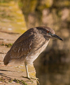 Juvinile Black Crown Night Heron