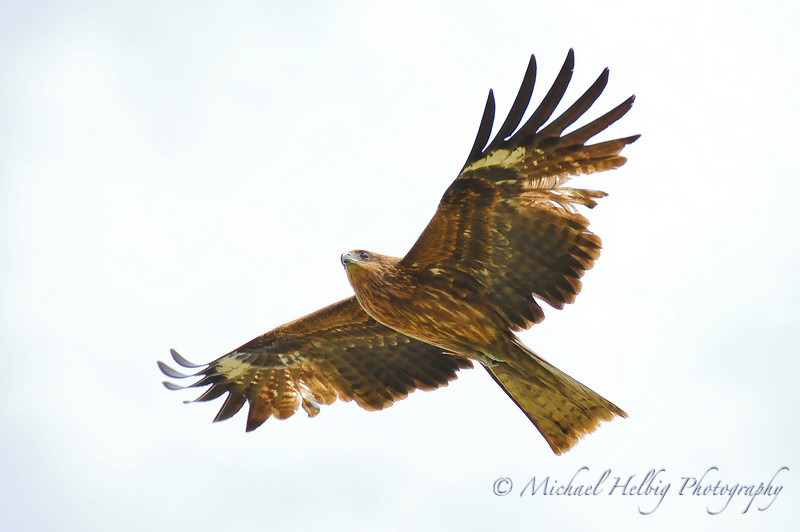 Black Kite - Kyoto