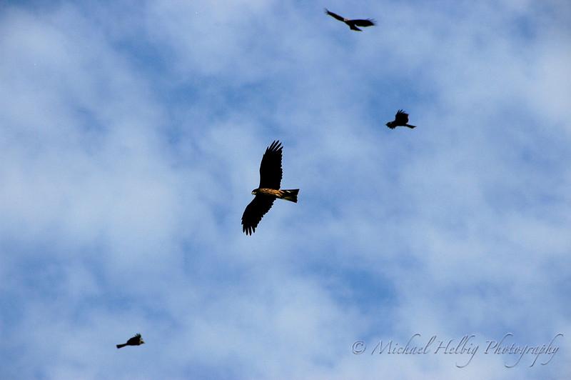 Kites Circling - Hiroshima