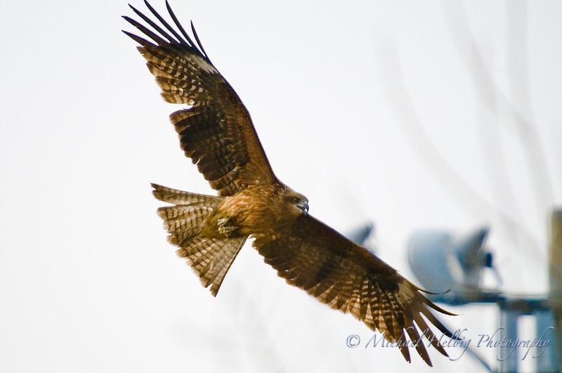 Black Kite - Hiroshima