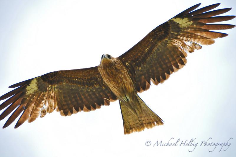 Black Kite - Kyoto