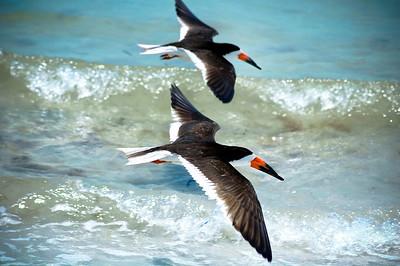 Black Skimmers IslandPhotography_0015