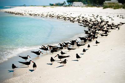 Black Skimmers IslandPhotography_0002