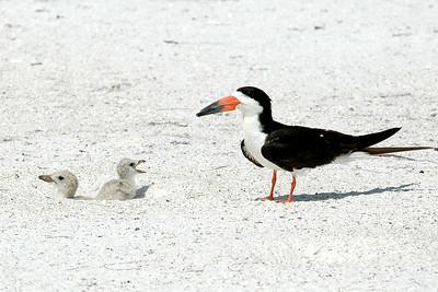 Black Skimmers IslandPhotography_0007