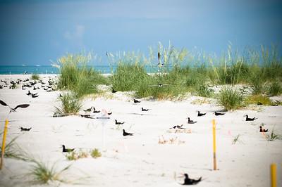 Black Skimmers IslandPhotography_0004