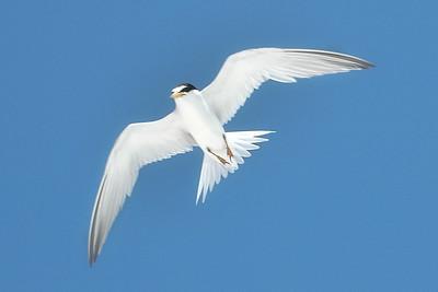 Least Tern IslandPhotography_0003