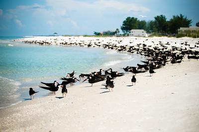 Black Skimmers IslandPhotography_0003