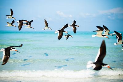 Black Skimmers IslandPhotography_0016