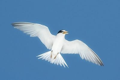 Least Tern IslandPhotography_0001
