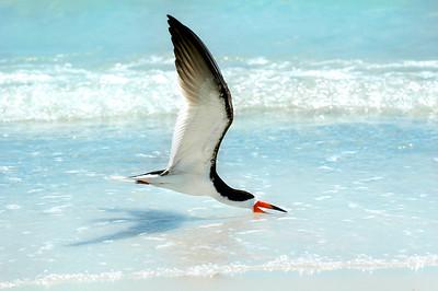 Black Skimmers IslandPhotography_0014
