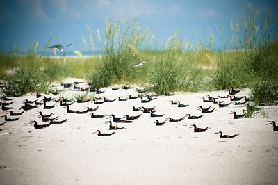 Black Skimmers IslandPhotography_0005