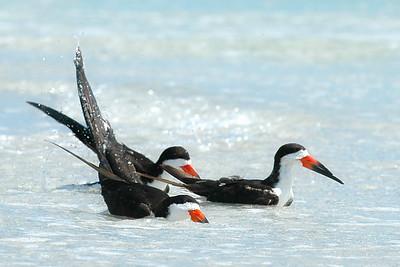Black Skimmers IslandPhotography_0012
