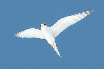 Least Tern IslandPhotography_0002