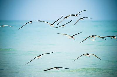 Black Skimmers IslandPhotography_0013