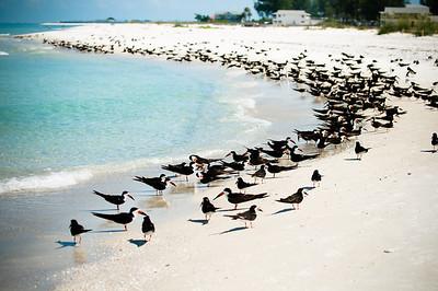 Black Skimmers IslandPhotography_0001