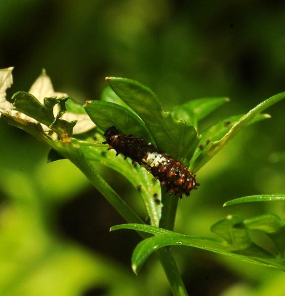 Black swallowtail, 1st or 2nd instar, Austin, Texas, 21 May 2010