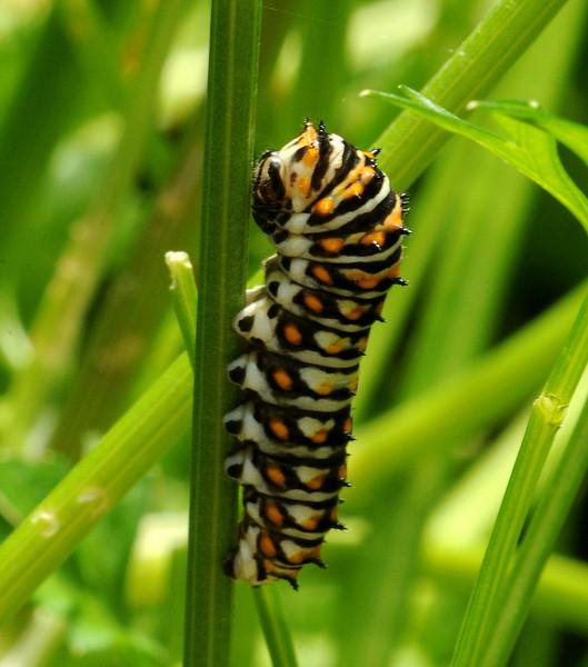 Black swallowtail, 3rd instar, Austin, Texas, 21 May 2010