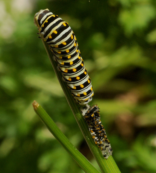 Black swallowtail, 4th instar shedding, Austin, Texas, 21 May 2010