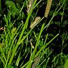 Black swallowtails, Austin, Texas, 21 May 2010