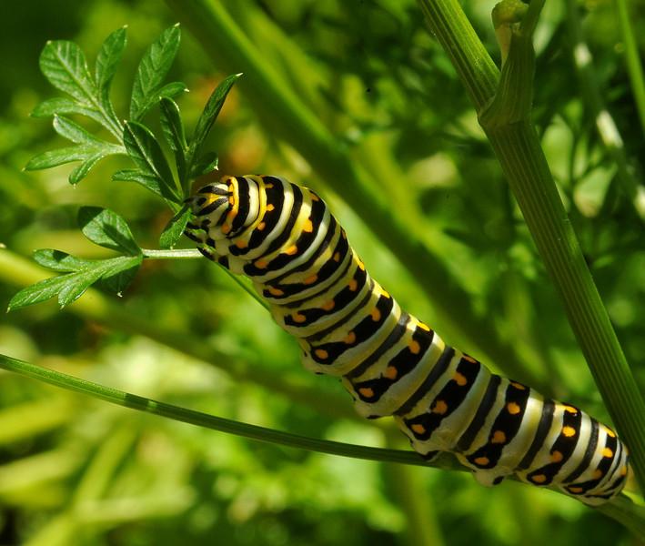 Black swallowtail, 5th instar, Austin, Texas, 21 May 2010