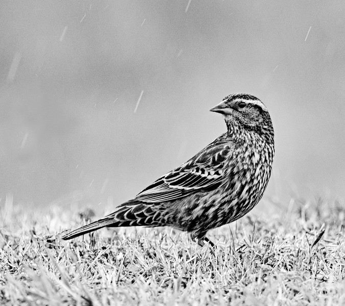 Red-winged blackbird female in the rain
